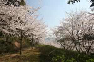 IMG_5451 桜